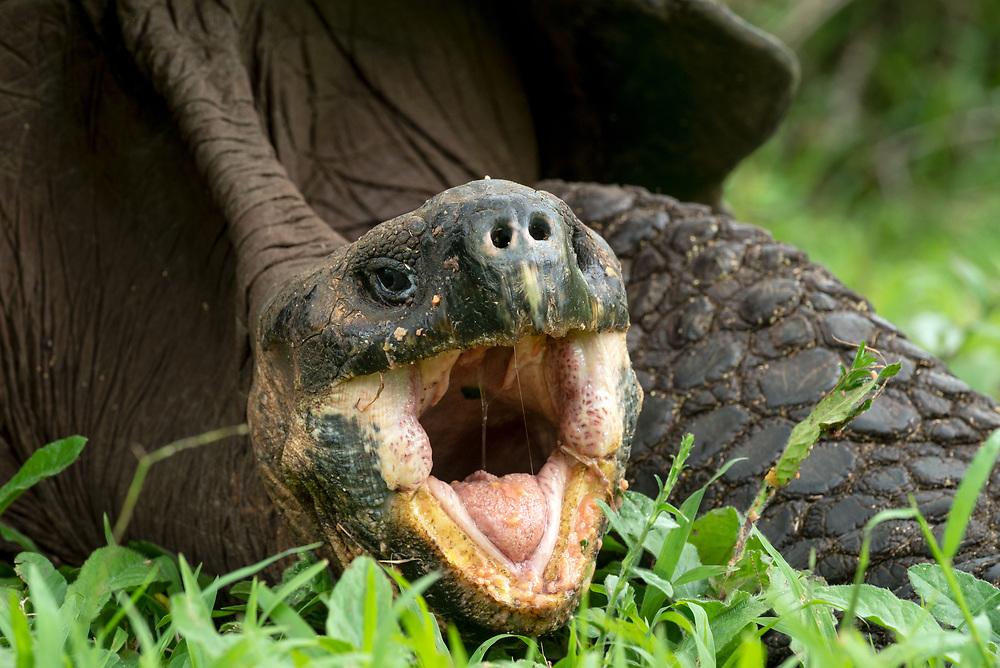 Giant tortoise with its mouth open, Santa Cruz Island, Galapagos Islands, Ecuador.