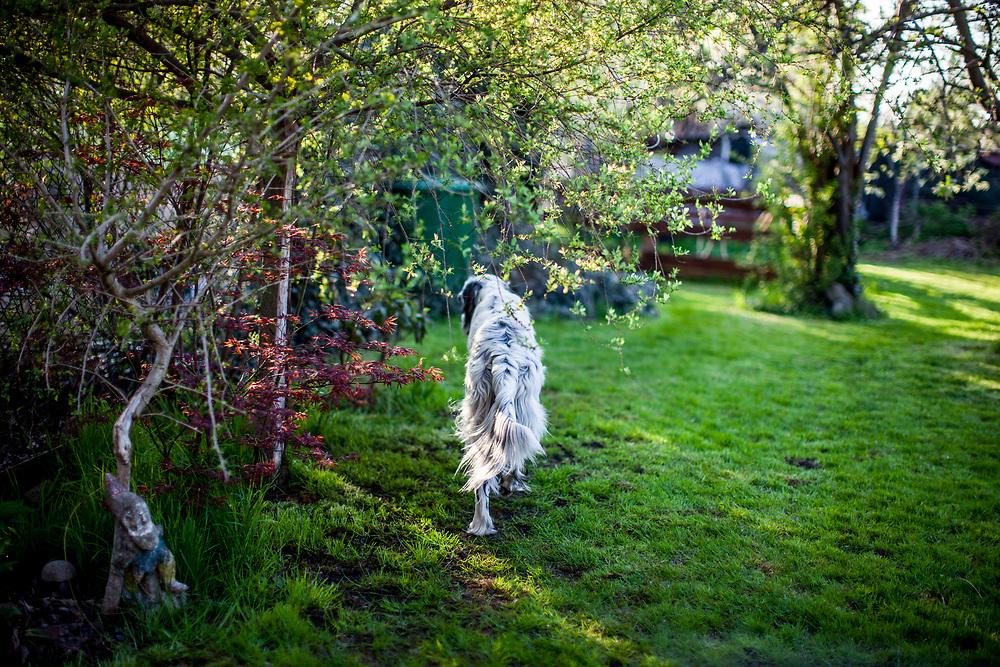 """English Setter """"Rudy"""" läuft am18.04. 2018 durch den Garten. Rudy wurde Anfang Januar 2017 geboren und ist gerade zu seiner neuen Familie umgezogen."""