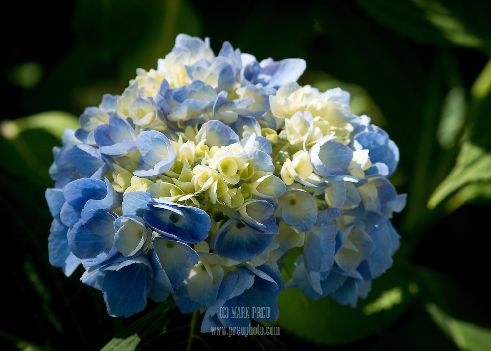 Hydrangeas are popular in gardens on Cape Cod. There is a hydrangea festival every summer.