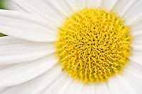 Cetner of a daisy flower
