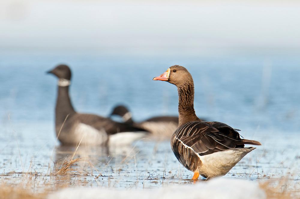 Greater White-fronted Goose, Anser albifrons, and Black Brant, Branta bernicla nigricans, Yukon Delta NWR, Alaska