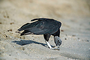 Black vultures, Coragyps atratus, feed on Leatherback Sea Turtle hatchlings, Dermochelys coriacea, on Grande Riviere beach, one of the primary nesting locations in the world for the endangered sea turtles.