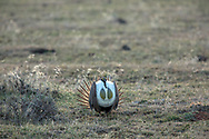 Greater Sage grouse displaying during the spring mating season