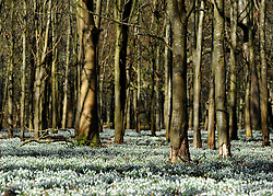©London News pictures. 08.02.2011. Carpets of snowdrops cover woodland ground in the sunshine at Welford Park, Newbury, today (Tues). The grounds are open to the public Wednesday - Sunday from 11.00am until 4.00pm. Picture Credit should read Stephen Simpson/LNP