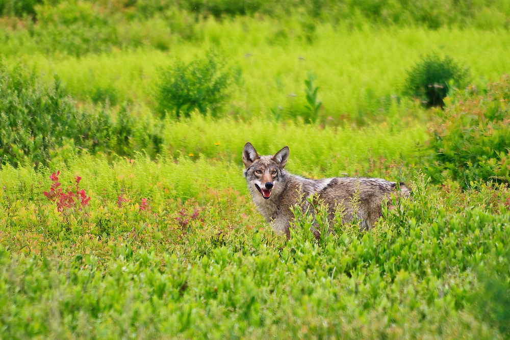 A coyote (Canis latrans) feeds on a previously killed white-tailed deer (Odocoileus virginianus) fawn, Big Meadows, Shenandoah National Park, Virginia. This image has been used by National Geographic News to illustrate a new article announcing the study that wolf DNA was found in eastern coyotes.