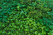 Bunchberry (Cornus canadensis) flowers creepoing under forest canopy.<br /> <br /> Ontario<br /> Canada