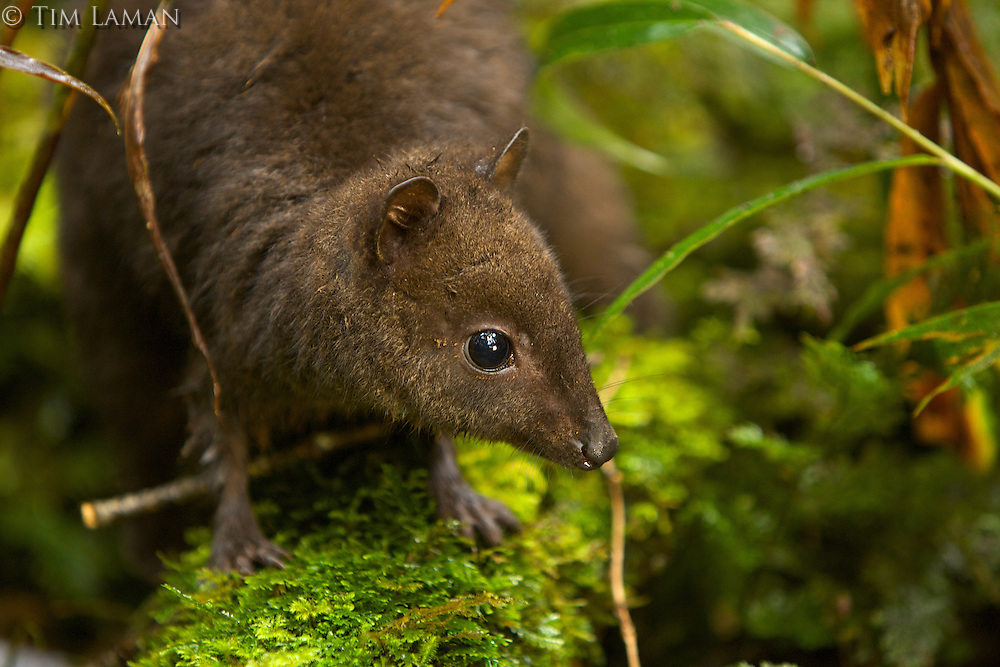 Dwarf Wallaby (Dorcopsulus sp. nov.)<br />