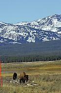 Bison graze deep in Yellowstone Park.