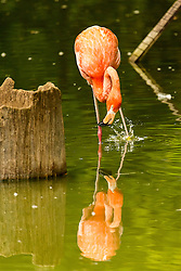 A flamingo splashes at his own reflection in the water