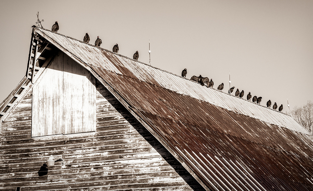 Turkey Vultures and Black Vultures on top of an old barn warm their body their body temperature in the morning sun.