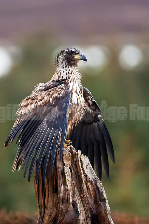 Havørn sprer vingene og poserer på stubbe | White-tailed Eagle spred her wings and posing on stump.