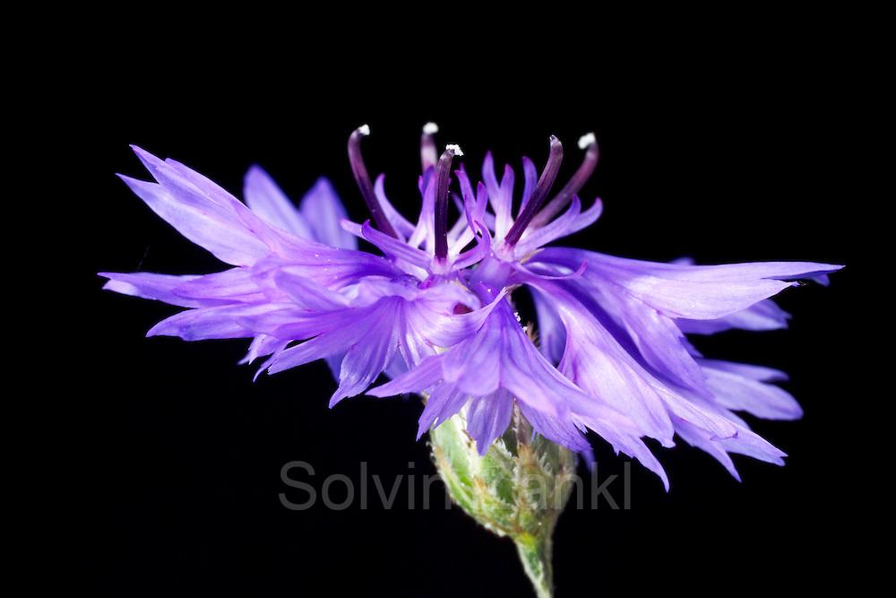 cornflower (Centaurea cyanus) - | Einst zierten Kornblumen (Centaurea cyanus) in großer Zahl die Feldränder – bis die intensive Landwirtschaft die Farbtupfer aus der Landschaft fast verschwinden ließ. Gern gesehene Bestäuber an der Blüte sind Bienen, Schwebfliegen und Tagfalter. (Deutschland)