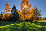 Eastern larches (Larix laricinia) in autumn foliage<br /> Thunder Bay<br /> Ontario<br /> Canada