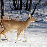 White-tail Deer doe walking in snow; Rifle Camp Park; Garret Mountain; New Jersey