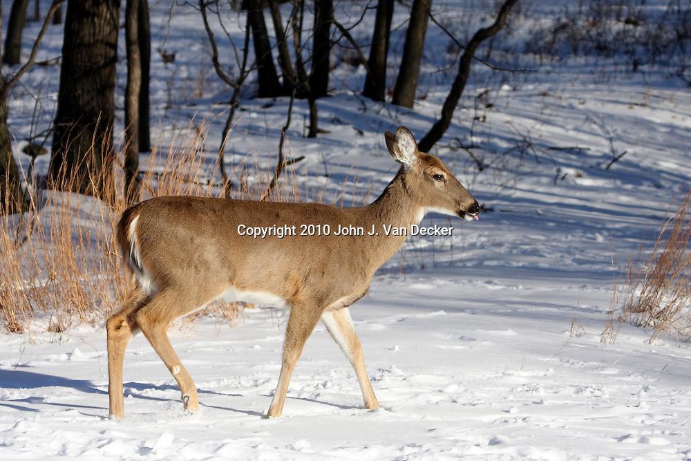 White-tail Deer doe walking in snow; Rifle Camp Park; Garret Mountain; New Jersey