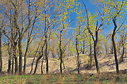 Spring foliage on hardwood trees  along the dunes alongside Lake Erie <br />