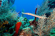 Trumpetfish, Aulostomus maculatus, Valenciennes, 1837, Andes Wall, Grand Cayman