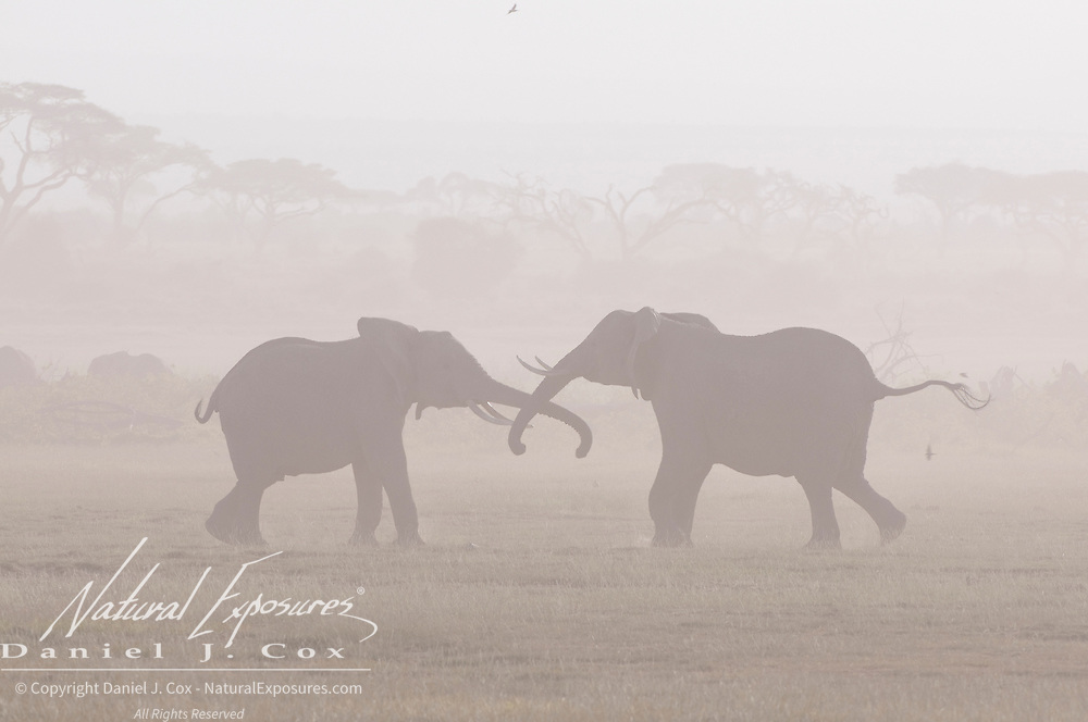 African Elephant (Loxodanta africana) pair in a dust storm. Amboseli National Park, Kenya, Africa