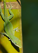 Brown or green anole, Anolis carolinensis, Big Island, Hawaii