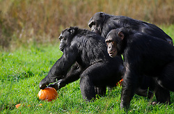 © Licensed to London News Pictures. 29/10/2013 Dunstable, UK. A group of chimpanzees grab a Halloween pumpkin at Whipsnade Zoo, Dunstable. The animals are given the spooky treats as part of their dietary enrichment programme.<br /> Photo credit : Simon Jacobs/LNP