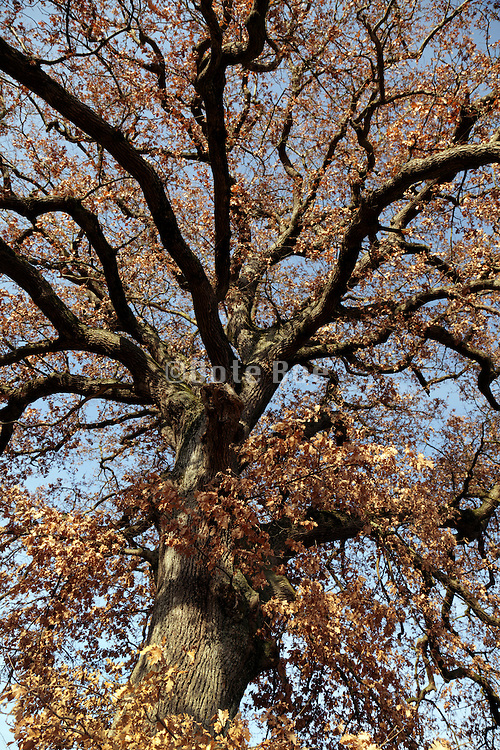 looking up inside the crown a big oak tree with brown leaves
