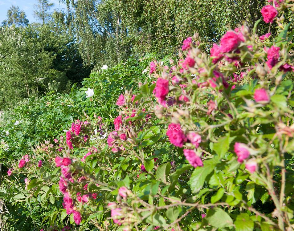 Flowering Rosa rugosa 'Rubra' (red Japanese rose) and Rosa rugosa 'Alba' (white Japanese rose).