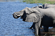 Elephants drinking, Savuti Channel