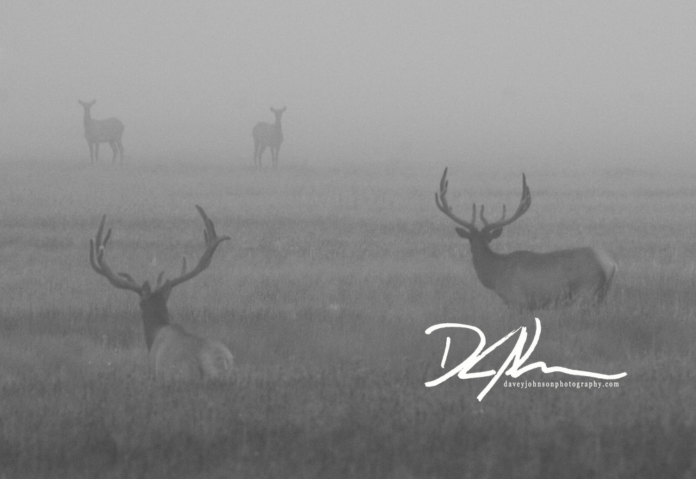 Two Bull Elk spot a couple cows as the mist lifts