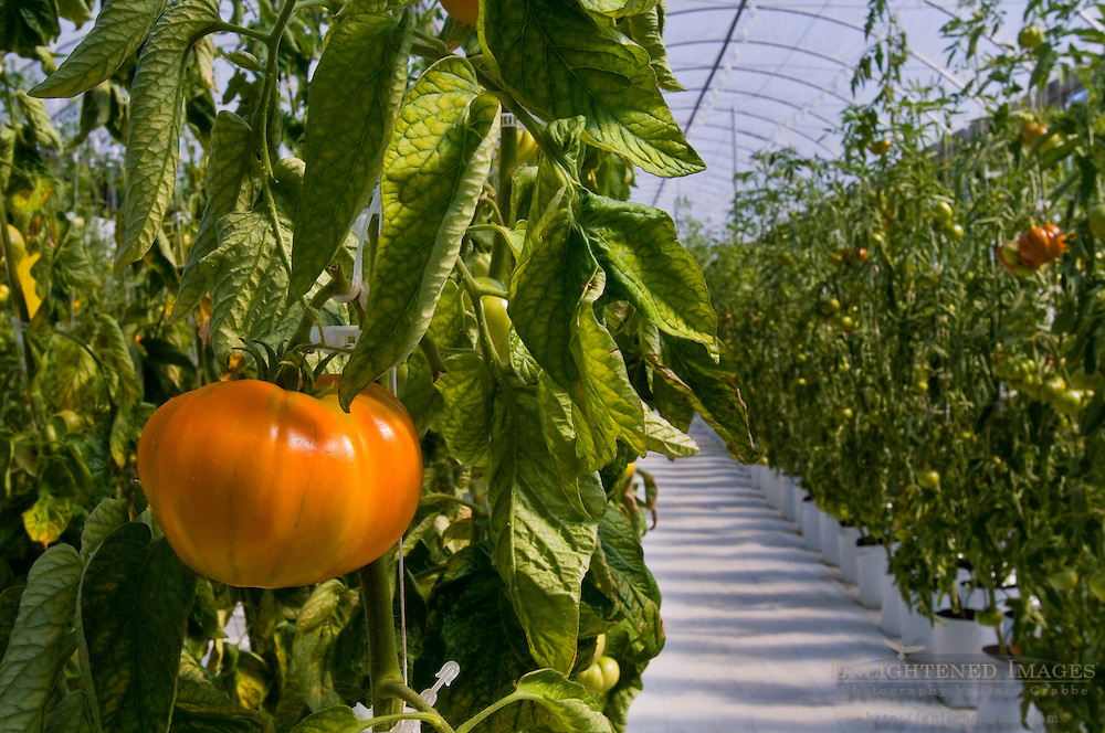 Fresh heirloom tomatoes growing in hydroponic climate controlled greenhouse, Linn's Family Farm, near Cambria, California