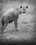 Spotted Hyaena ,Crocuta crocuta,Hluhulwe Game Reserve,South Africa
