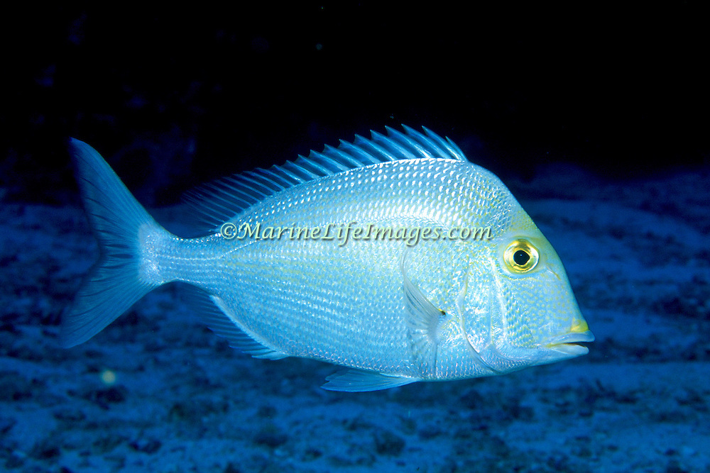 Saucereye Porgy hover above reefs and adjacent sand areas in Tropical West Atlantic; picture taken Grand Cayman.