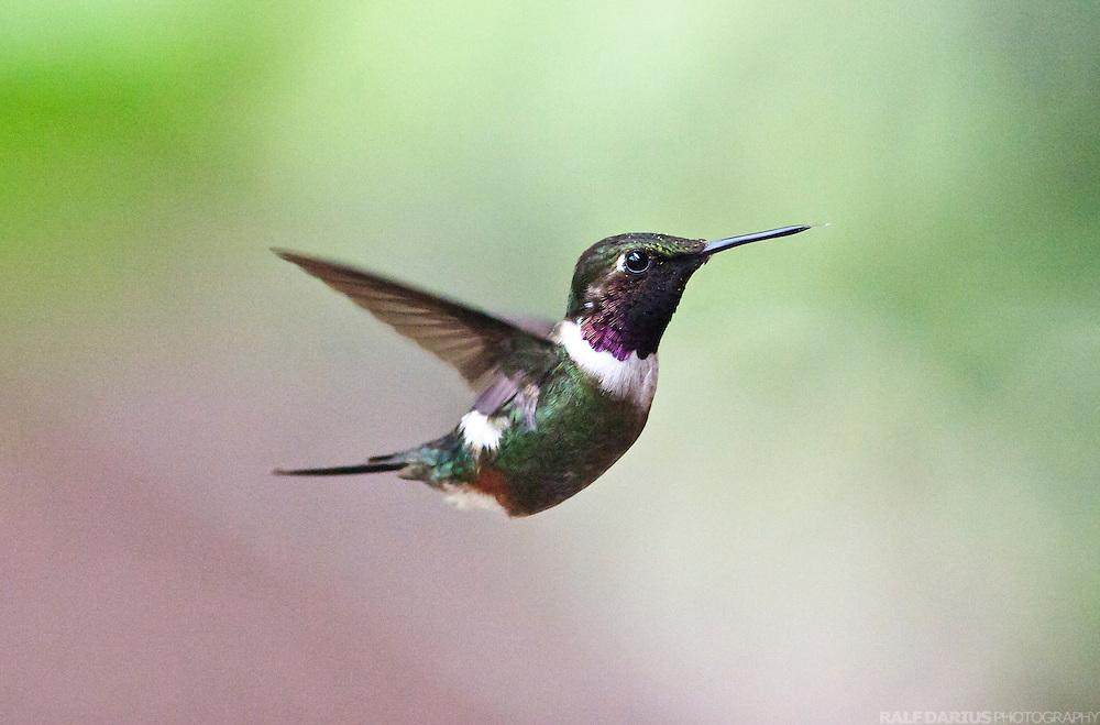 Hummingbird attracted by feeder at a the Lodge of the Bellavista  Cloud Forest Reserve - Kolibri, der an der Lodge des Bellavista  Nebelwald Resrvats.von einem Fütterungsatomaten angezogen wird