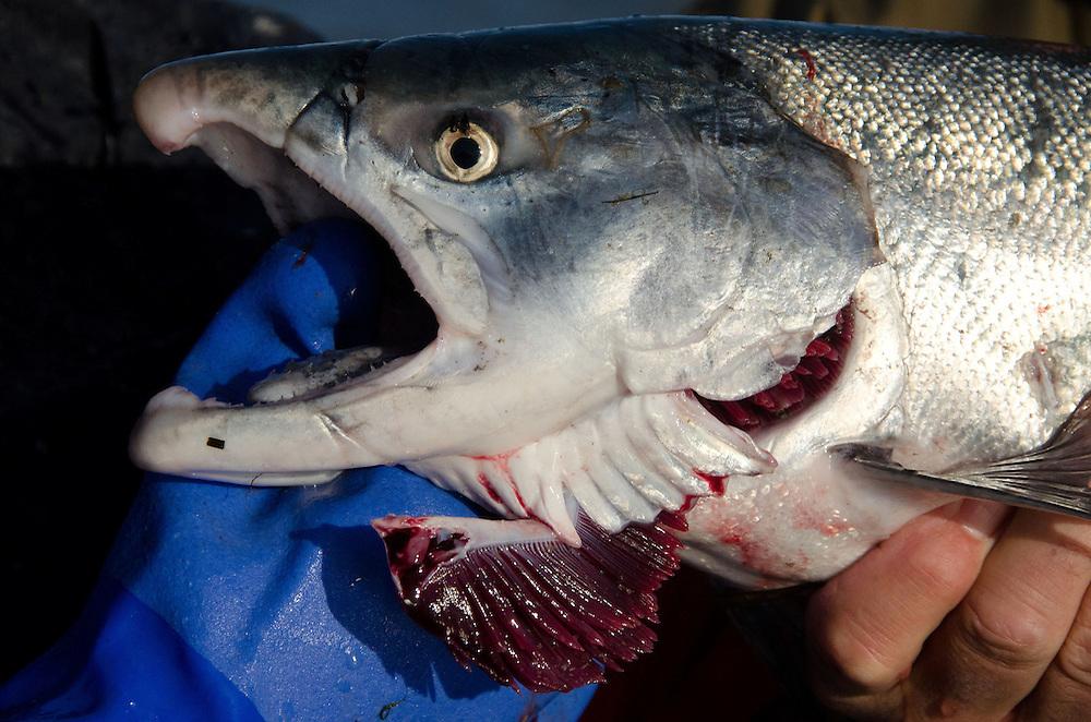 Fishing on the Copper River Delta, Cordova, Alaska, US