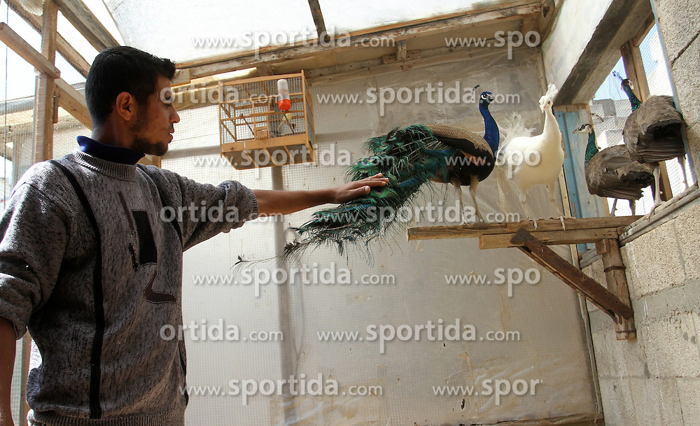 05.05.2015, Khan Younis, PSE, Pfauen Zucht im Nahen Osten, im Bild Pfaue auf einer Zuchtfarm in Pal&auml;stina // A man touches peacock tail at a local breeding farm in Khan Younis in the southern Gaza Strip, May 5, 2015. Male peacocks display and shake its tail feather to attract attention to female peahens during courtship, Palestine on 2015/05/05. EXPA Pictures &copy; 2015, PhotoCredit: EXPA/ APAimages/ Abed Rahim Khatib<br /> <br /> *****ATTENTION - for AUT, GER, SUI, ITA, POL, CRO, SRB only*****