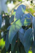 Eucalyptus glaucous foliage in Lady Davina Stair's Garden, Stair Estate, Castle Kennedy