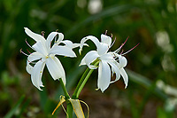 Arthur C Marshall Wildlife Reserve, Loxahatchee, Florida. Swamp Lily (Amaryllus Famiy)   Photo: Peter Llewellyn