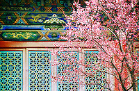 China, Wutai Shan, 2008. The full glory of spring hits the cherry trees planted years ago in the main courtyard of Tayuan Temple, one of Wutai's most influential.