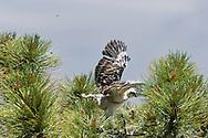 Short-tailed Hawk (Buteo brachyurus) nestling exercises as flies circle the nest; Arizona, (Nesting Record)