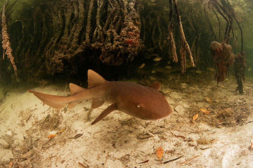 Other small sharks may take refuge in the mangroves. Although nurse shark pups often spend their young years hidden deep in reefs, mangroves are a great alternative.