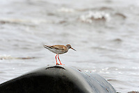 The Spotted Redshank (Tringa erythropus) is a wader. It is an Arctic bird, breeding across northern Scandinavia and northern Asia.