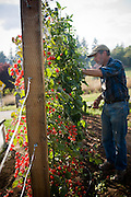 Garedner harvests tomatoes from the vine.