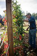 Garedner harvests tomatoes from the vine.