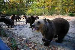 ROMANIA ZARNESTI 27OCT12 - Eurasian brown bears at the Zarnesti Bear Sanctuary in Romania, funded by WSPA...With over 160 acres (70 hectares) spread over a wooded hillside, it is Romania's first bear sanctuary and today houses 67 bears rescued from ramshackle zoos and cages at roadside restaurants.......jre/Photo by Jiri Rezac / WSPA..© Jiri Rezac 2012