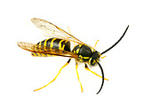 Eastern Yellowjacket (Vespula maculifrons)<br /> United States: Alabama: Tuscaloosa Co.<br /> Tulip Tree Springs off Echola Rd.; Elrod<br /> 18-Oct-2017<br /> J.C. Abbott #3007