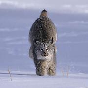 Canada Lynx, (Lynx canadensis) Montana. Running through snow. Captive Animal.