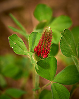 Italian Clover, crimson clover (Trifolium incarnatum). Backyard spring nature in New Jersey. Image taken with a Nikon Df camera and 105 mm f/2.8 VR macro lens (ISO 100, 105 mm, f/8, 1/125 sec).