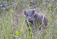 Indian Wild Boar (Sus scrofa cristatus), Bardia National Park, Nepal