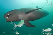 false killer whale, Pseudorca crassidens (c,dm)