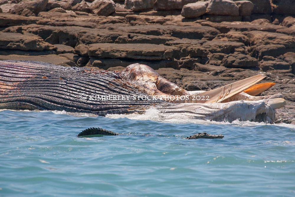 A juvenile crocodile in the water near a dead whale at Hall Point in Camden Sound on the Kimberley coast.