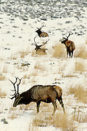 Bull elk, winter, Yellowstone National Park